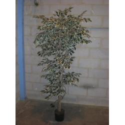 Imitation variegated Bay Tree (2100mm)
