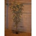 Imitation variegated Bay Tree (2700mm)